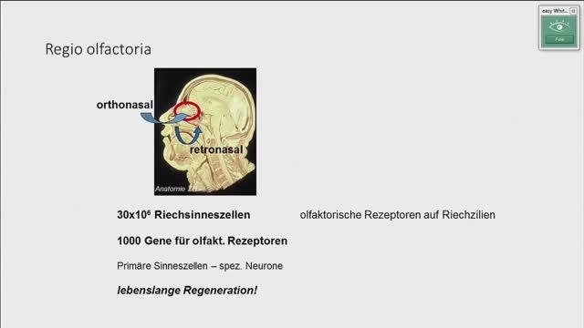 Riechschleimhaut, Riechbahn, Riechrinde; Entwicklung und Topografie des Limbischen Systems preview image